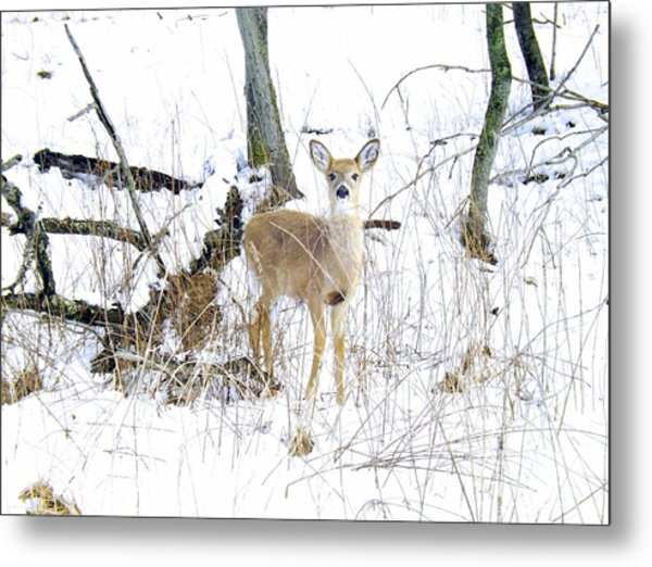 Young Doe And Spring Snow Metal Print