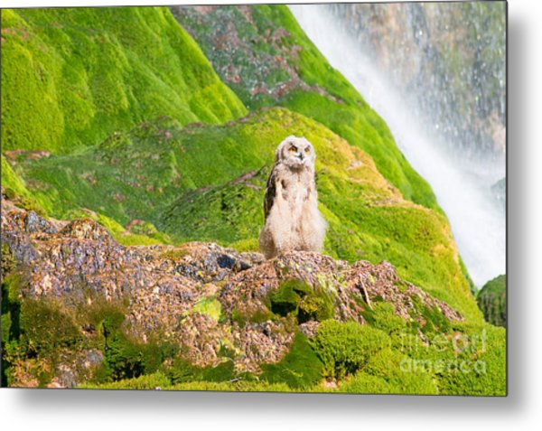 Young Eagle Owl Metal Print by Bryan Attewell