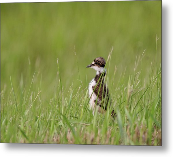 Young Killdeer In Grass Metal Print