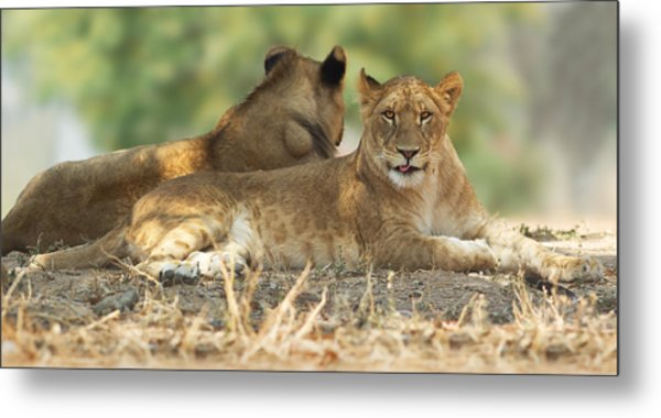 Young Lioness Metal Print by Yuri Peress