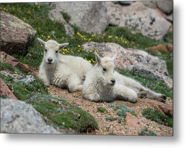 Young Mountain Goats Metal Print