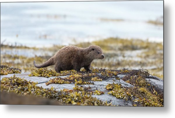 Young Otter Metal Print