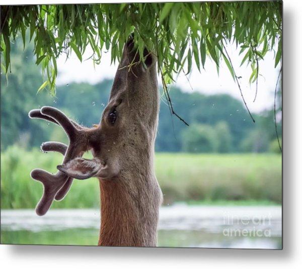 Young Red Deer Stag - Cervus Elaphus - In Velvet Antlers, Browsing Metal Print