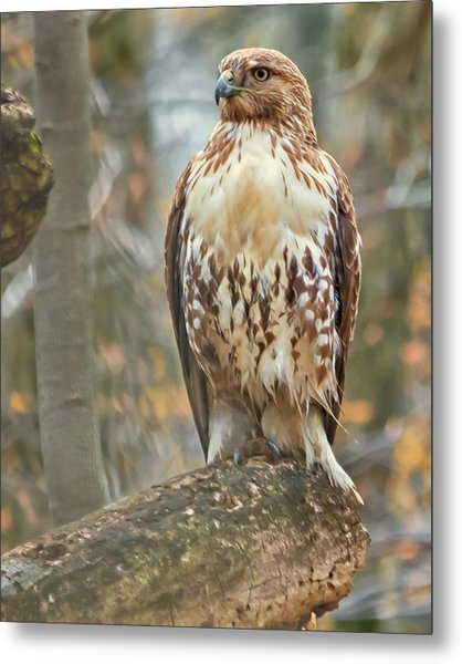 Young Red Tailed Hawk  Metal Print