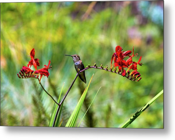 Young Rufous Hummingbird Perched On Flower Metal Print