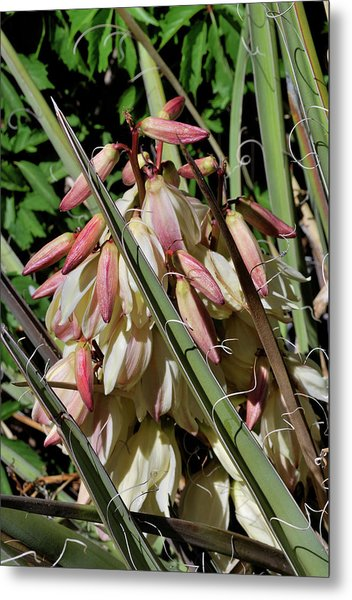 Metal Print featuring the photograph Yucca Bloom I by Ron Cline