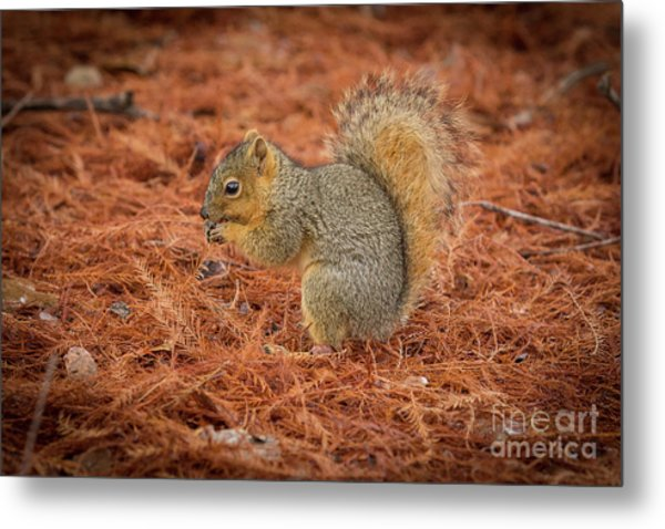 Yum Yum Nuts Wildlife Photography By Kaylyn Franks     Metal Print
