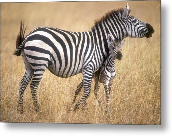 Zebra And Foal Metal Print by Johan Elzenga