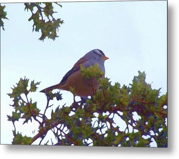 White Crowned Sparrow In Cedar Metal Print