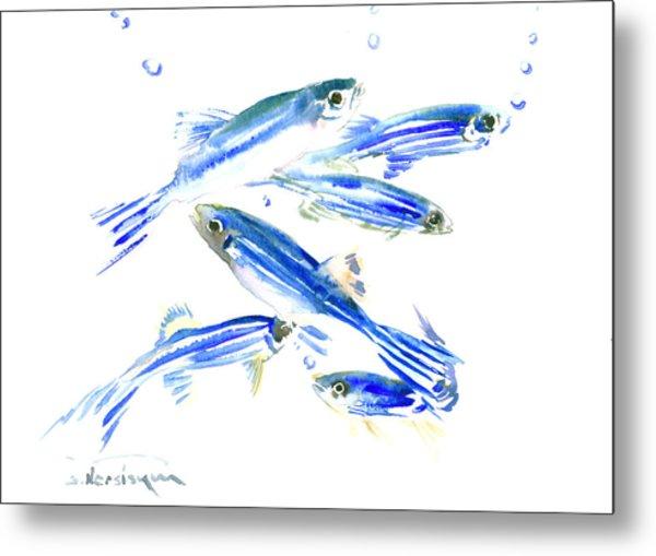 Zebra Fish, Danio Metal Print