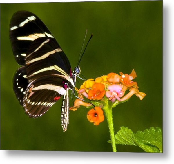 Zebra Heliconian On Milkweed Flower Metal Print by Don Durfee