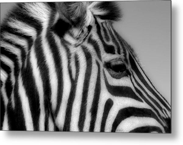 Zebra I Metal Print by Christine Hauber