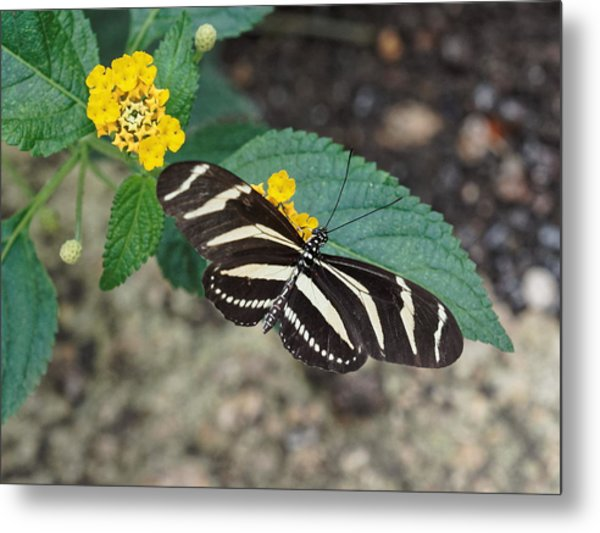Metal Print featuring the photograph Zebra Longwing Butterfly - 1 by Paul Gulliver