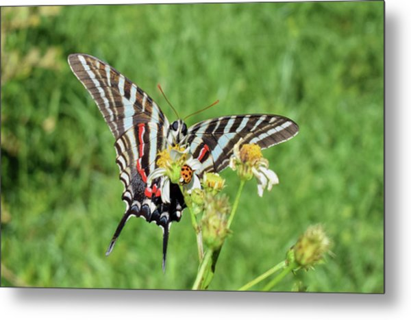 Zebra Swallowtail And Ladybug Metal Print