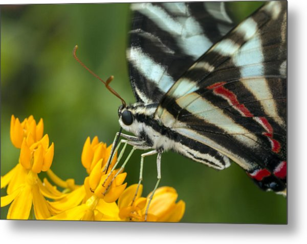 Zebra Swallowtail Drinking On The Fly Metal Print