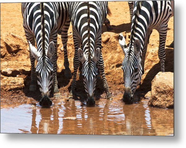 Zebras At The Watering Hole Metal Print