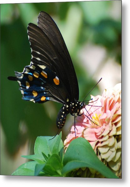 Zinnia Butterfly Metal Print