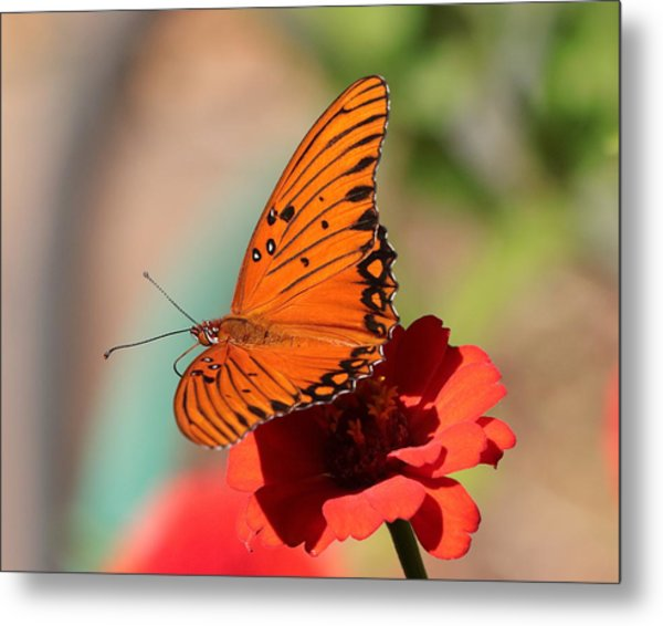 Zinnia With Butterfly 2669 Metal Print