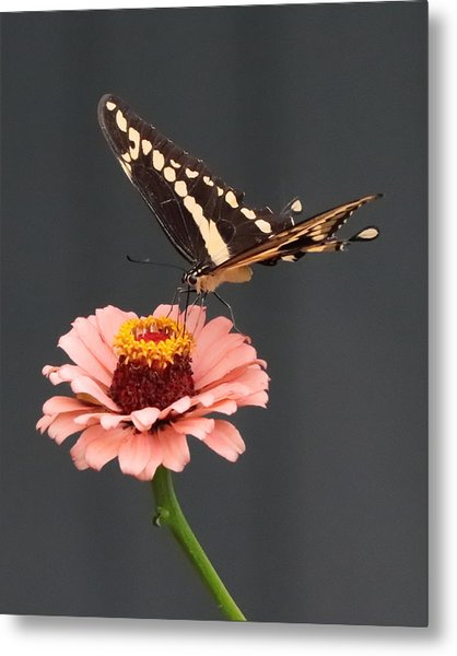 Zinnia With Butterfly 2702 Metal Print