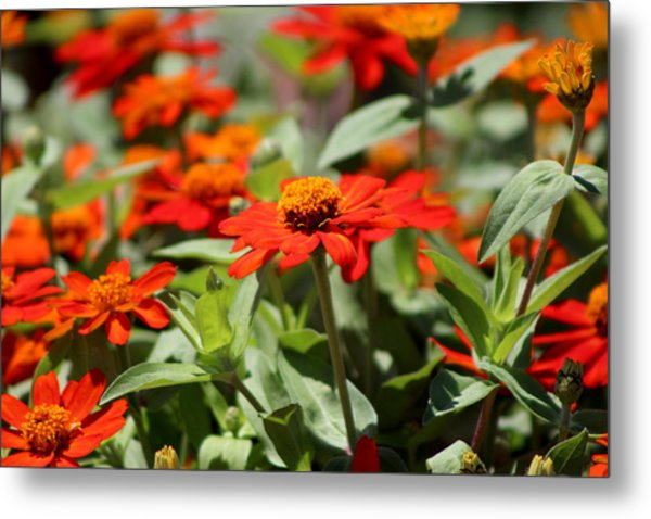 Zinnias In Autumn Colors Metal Print