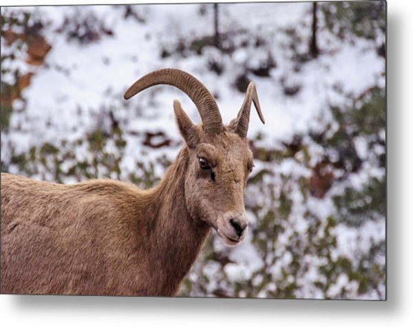 Zion Bighorn Sheep Close-up Metal Print