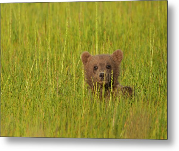 A Brown Bear Cub In The Long Grass In Metal Print by Mint Images - Art Wolfe
