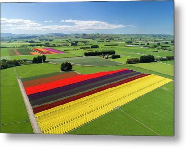 Aerial Of Colorful Tulip Fields Metal Print by David Wall