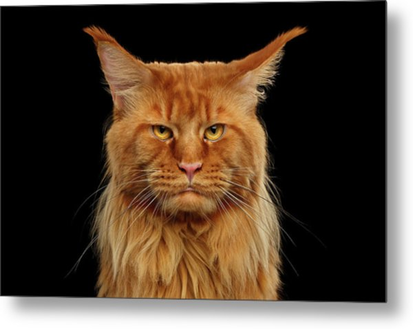 Angry Ginger Maine Coon Cat Gazing On Black Background Metal Print