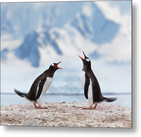Antarctica Gentoo Penguins Fighting Metal Print by Grafissimo