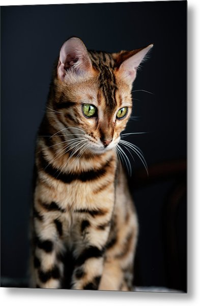 Bengal Cat Portrait Metal Print
