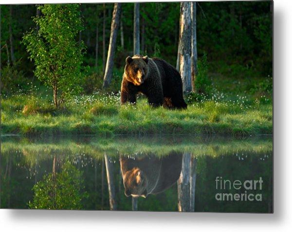 Big Brown Bear Walking Around Lake In Metal Print by Ondrej Prosicky