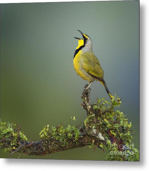 Bokmakierie Bird Calling - Telophorus Metal Print