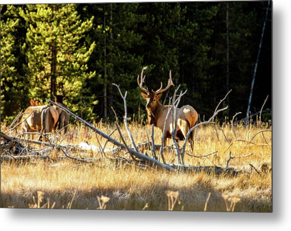 Metal Print featuring the photograph Bull Elk  by Pete Federico