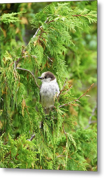Camprobber - The Gray Jay Metal Print