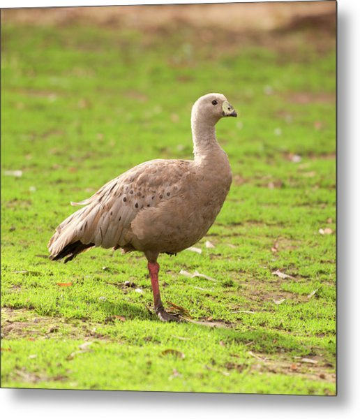 Metal Print featuring the photograph Cape Barren Goose Out In Nature by Rob D