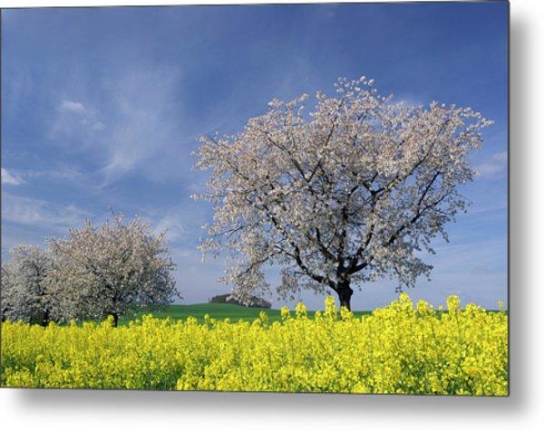 Cherry Tree In Blossom Metal Print by Cornelia Doerr