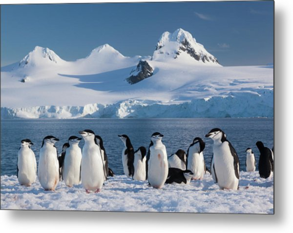 Chinstrap Penguins On Half Moon Island Metal Print by Mint Images - Art Wolfe