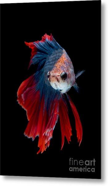 Colourful Betta Fish,siamese Fighting Metal Print