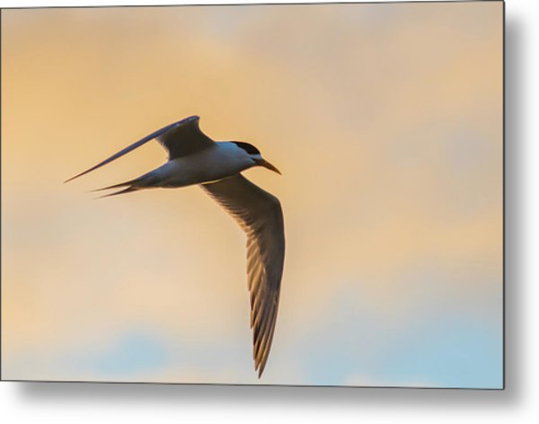 Crested Tern In The Early Morning Light Metal Print