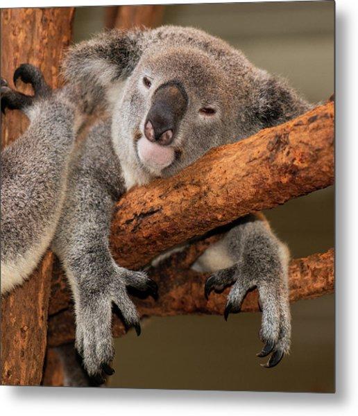 Cute Australian Koala Resting During The Day. Metal Print