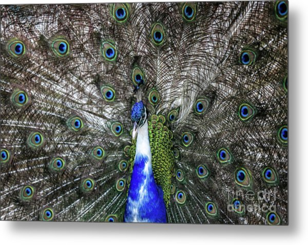 Dancing Peacock Metal Print