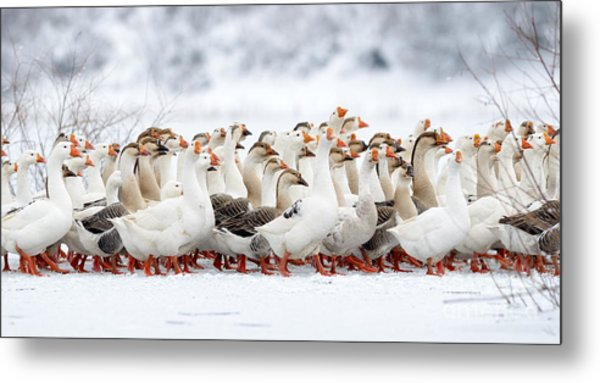 Domestic Geese Outdoor In Winter Metal Print