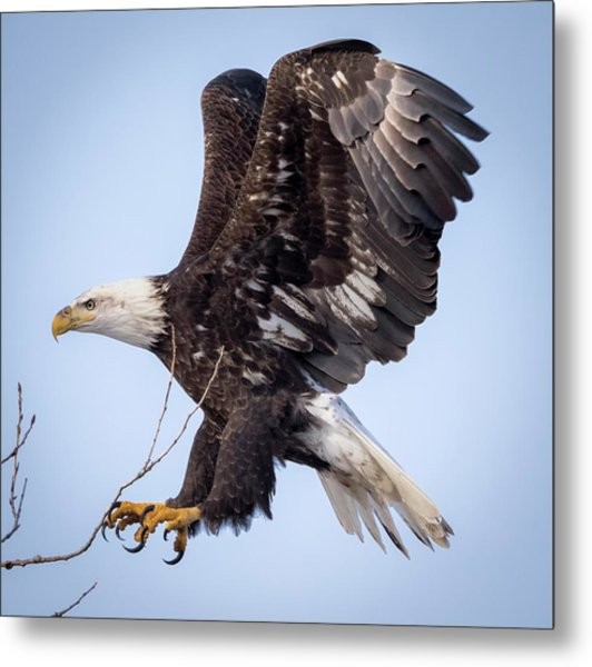 Eagle Coming In For A Landing Metal Print