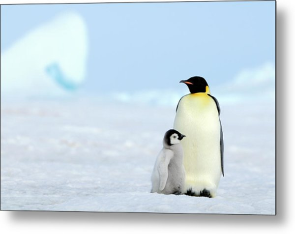 Emperor Penguin Metal Print by Tcyuen