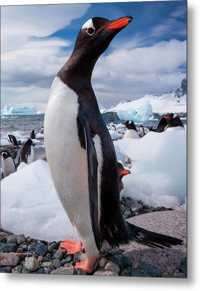 Gentoo Penguins, Antarctica Metal Print by Mint Images/ Art Wolfe