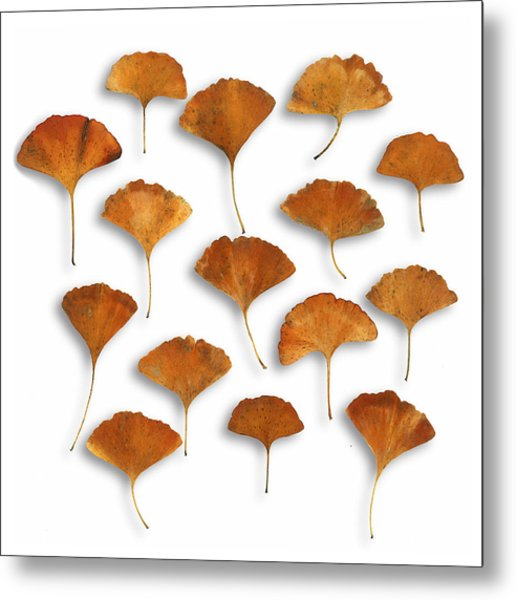 Gingkos Fall Metal Print