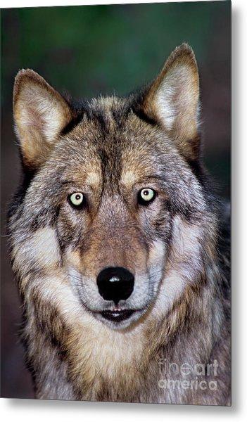 Gray Wolf Portrait Endangered Species Wildlife Rescue Metal Print