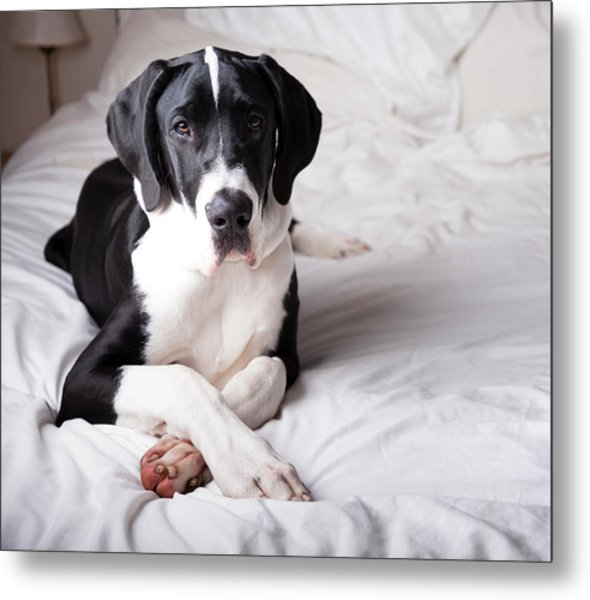 Great Dane On A Bed Metal Print by Claire Plumridge