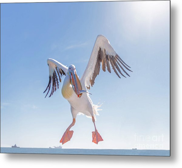 Great White Pelican Catches Fish Thrown Metal Print