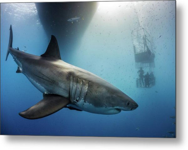 Metal Print featuring the photograph Great White Shark by Nicole Young